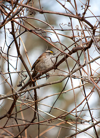 WhiteThroatedSparrow.AllisonHerreid