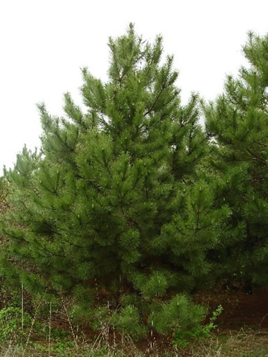 Red pine natural lands for Pine tree timber
