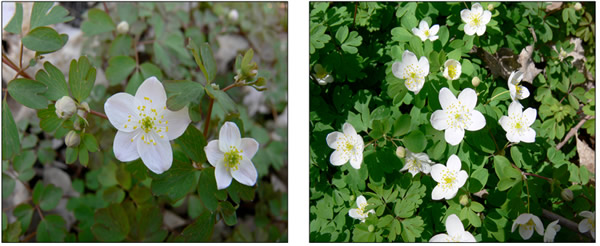 Rue anemone natural lands round white to light pink or lavender flowers 2 3 with 5 10 petal like sepals 1 wide petals are absent numerous stamen and pistils mightylinksfo