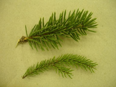 spruce_branches