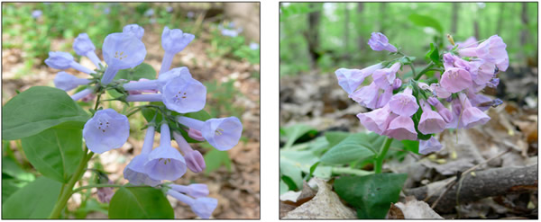 virginia-bluebells