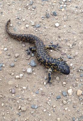 salamander_edited-1