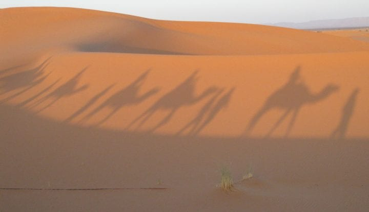 Morocco Downie camels in shadow