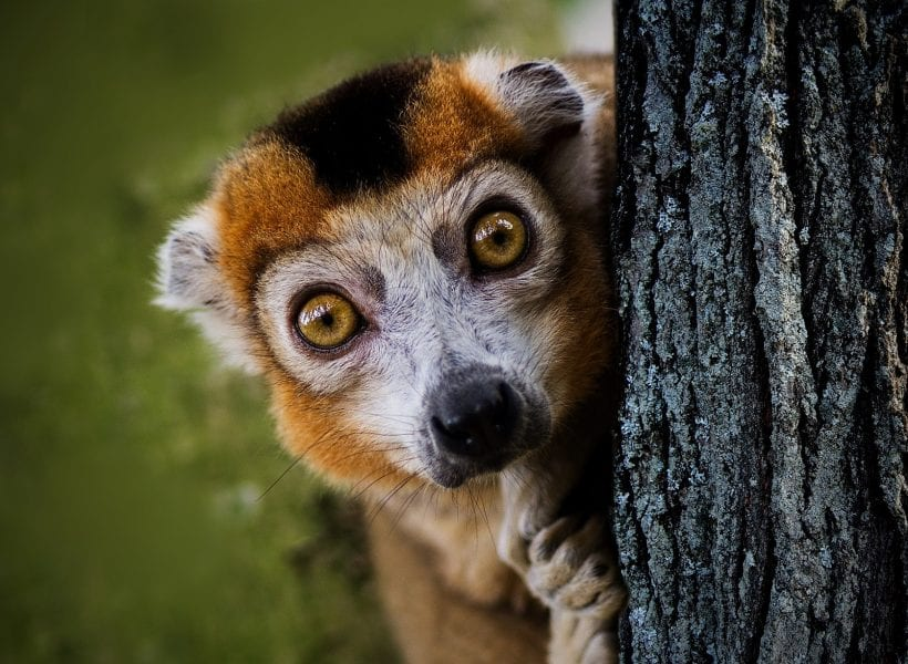 Africa madagascar lemur peek tree