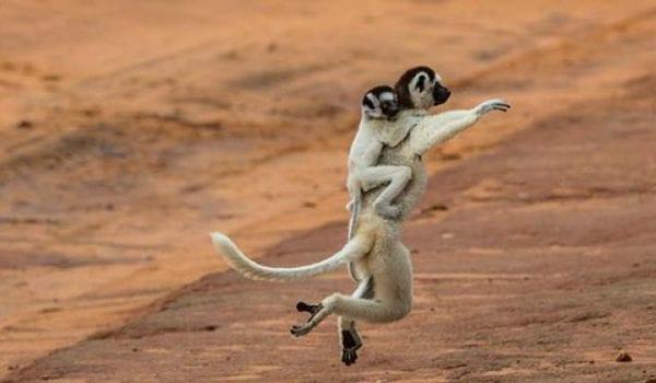 Africa madagascar lemurs