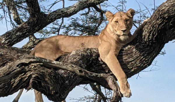 Tanzania lionness in tree